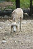 Burro осла в ферме Стоковая Фотография RF