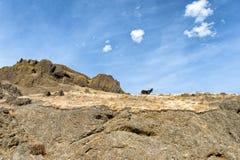 Burro смотрит вниз от верхней части горного склона базальта Стоковое фото RF