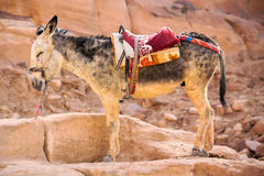 Burro. Standing donkey in Petra, Jordan Royalty Free Stock Photo