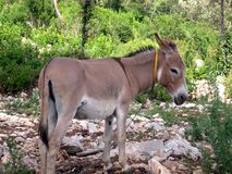 BURRO. A male burro in Dalmatia, Adriatic sea, Croatia, Europe royalty free stock photo