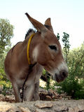 BURRO Stock Photo