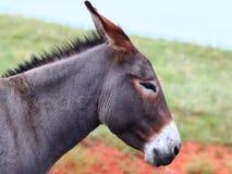 Burro bitten - Custer Nationalpark lizenzfreie stockfotos