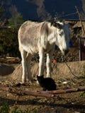 Burro blanco y gato negro Imagenes de archivo