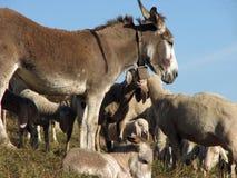 Burro con muchas ovejas de la gran manada que pasta Imágenes de archivo libres de regalías
