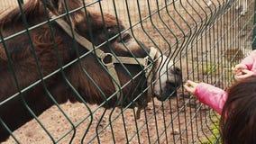 Burro de alimentación de la mujer en pajarera detrás de la cerca verde zoo Animales Árbol en campo metrajes