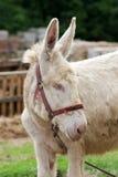Burro del albino Foto de archivo libre de regalías