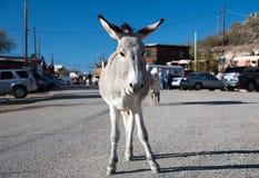 Burro, der an Oatman-Geisterstadt steht Lizenzfreie Stockfotografie