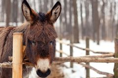 Burro detrás de la cerca en invierno imagen de archivo libre de regalías