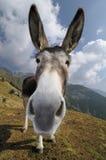 Burro divertido, asinus del africanus del Equus Imagenes de archivo