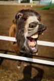 Burro divertido que muestra su boca que pide zanahorias fotos de archivo