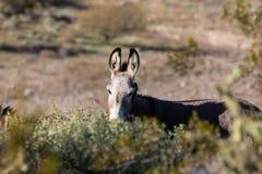 burro dziki pustynny fotografia stock