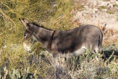 burro dziki pustynny obraz stock