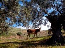 Burro en arboleda verde oliva debajo del árbol en España imagenes de archivo