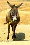 Burro en el desierto Fotografía de archivo libre de regalías