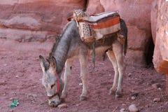 Burro en el Petra Foto de archivo