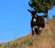 Burro en parque de estado de Custer de la ladera imagen de archivo libre de regalías