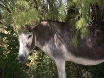 Burro en reserva de naturaleza en Skala Kalloni Lesvos Grecia Imagenes de archivo