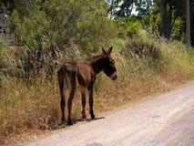 Burro en reserva de naturaleza en Skala Kalloni Lesvos Grecia Imagen de archivo