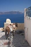 Burro en Santorini, Grecia Imagen de archivo libre de regalías