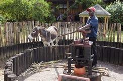 Burro en un círculo para un jugo que presiona de una caña en la planta del ron de Appleton el 29 de octubre de 2011 en Jamaica Foto de archivo