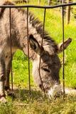 Burro en un campo en día soleado que come la hierba. Foto de archivo libre de regalías