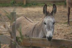 Burro, especie en peligro en una granja Fotografía de archivo libre de regalías