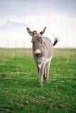 Burro gris Imagen de archivo libre de regalías