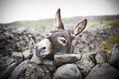 Burro irlandés agradable detrás de una pared de piedra Fotos de archivo libres de regalías
