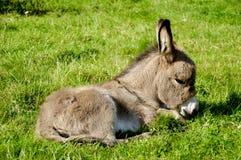 Burro joven que come la hierba Fotografía de archivo libre de regalías