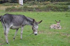 Burro llevado recientemente con su madre en una granja en Asturias fotografía de archivo libre de regalías