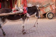 Burro in Agadir Royalty Free Stock Image