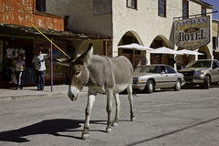 Burro Oatman, Arizona Stock Image