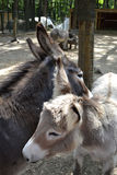 Burro. A pair of donkeys in the zoo Royalty Free Stock Images