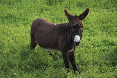 Burro in Pasture. Furry burro in lush green pasture Royalty Free Stock Photo