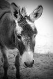 Burro Portrait (BW)  Stock Photos