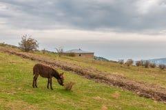 Burro que pasta en la hierba por la montaña de Demerji, Crimea Fotografía de archivo