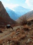Burro que pasta en las montañas Imagen de archivo