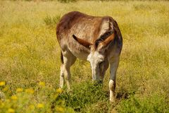 Burro rouan rouge Photo libre de droits