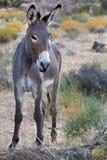 Burro salvaje en el desierto de Nevada, los E.E.U.U. Fotografía de archivo