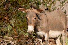 Burro salvaje en Oatman, Arizona Imágenes de archivo libres de regalías