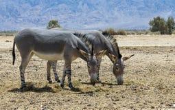 Burro salvaje somalí - africanus del Equus Foto de archivo libre de regalías