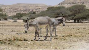 Burro salvaje somalí (africanus del Equus) en reserva de naturaleza cerca de Eilat, Israel almacen de metraje de vídeo