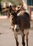 Burro sauvage dans Oatman, Arizona photos stock