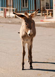 Burro sauvage dans Oatman, Arizona photo libre de droits