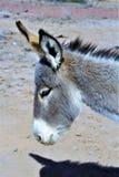 Burro sauvage Earp, la Californie, Etats-Unis Image libre de droits
