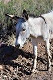 Burro selvagem Earp, Califórnia, Estados Unidos Fotografia de Stock