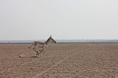 Burro selvagem indiano Imagem de Stock Royalty Free