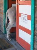 Burro selvagem, Oatman, o Arizona Fotografia de Stock Royalty Free