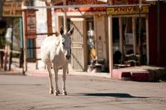 Burro selvaggio in Oatman, Arizona Immagine Stock Libera da Diritti
