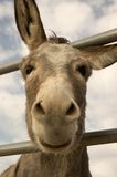 Burro Smile. Cute burro sticking head through fence with ears askew and smiling Royalty Free Stock Photography